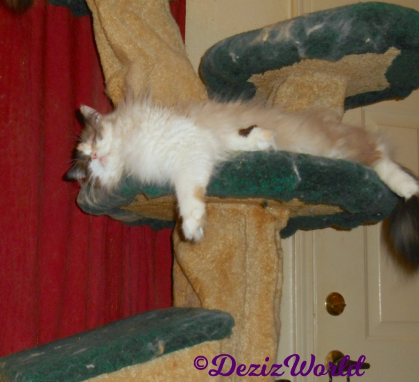 Raena sleeps stretched out on cat tree