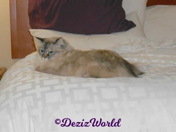 Dezi lays on hotel bed