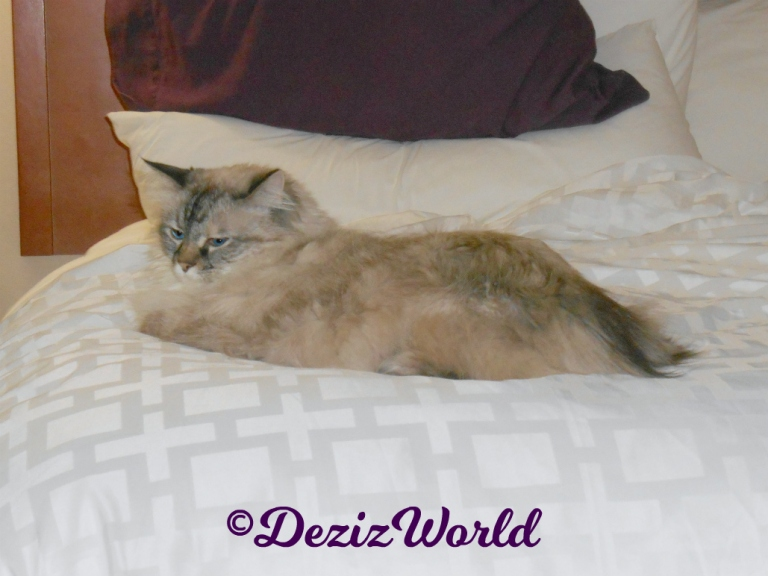 Dezi lays on hotel bed
