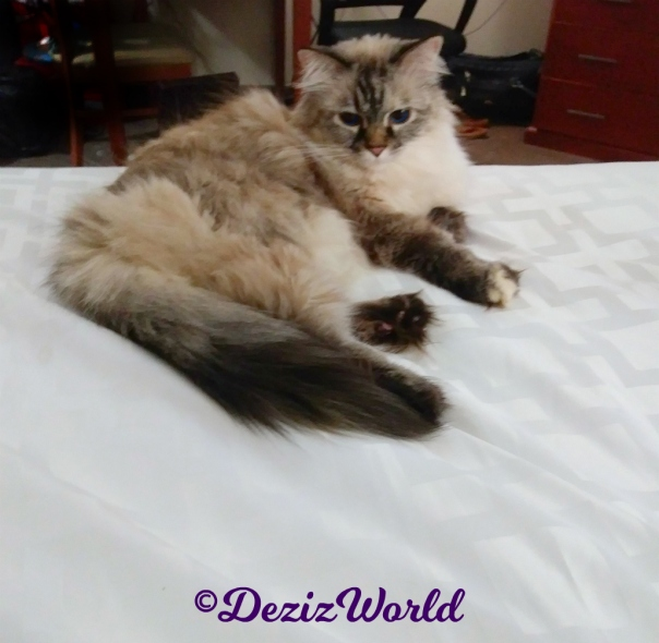 Dezi lays pretty on hotel bed
