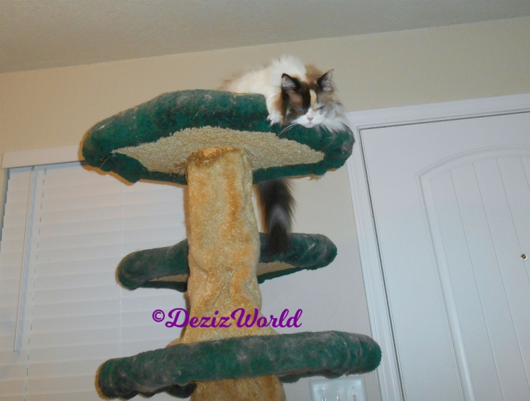 Raena lays atop cat tree