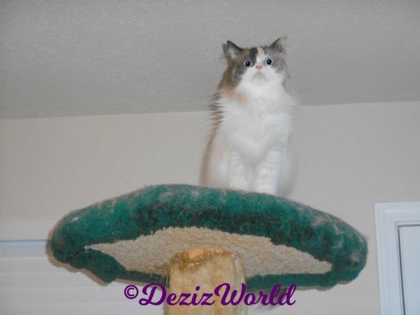 Raena sits atop cat tree