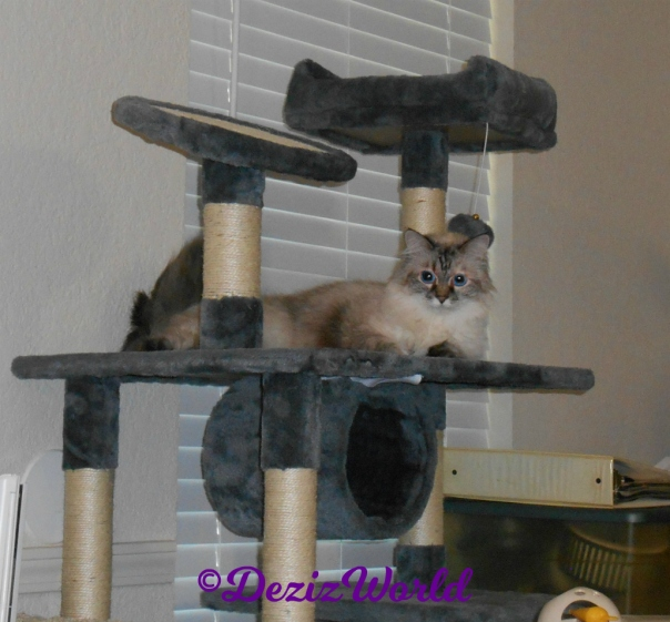 Dezi lays on Cat Tree,