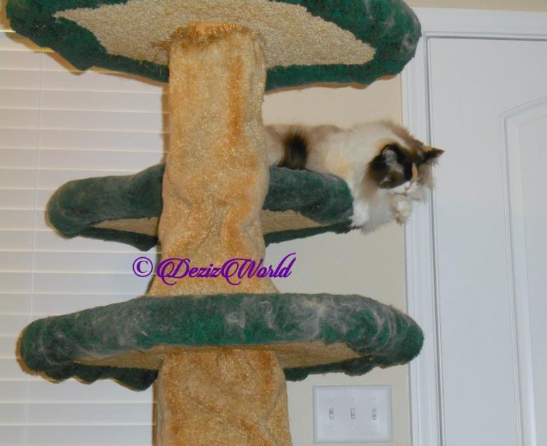 Raena bathes atop the cat tree