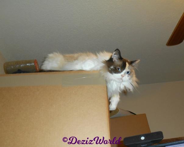 Curious Raena lays atop boxes