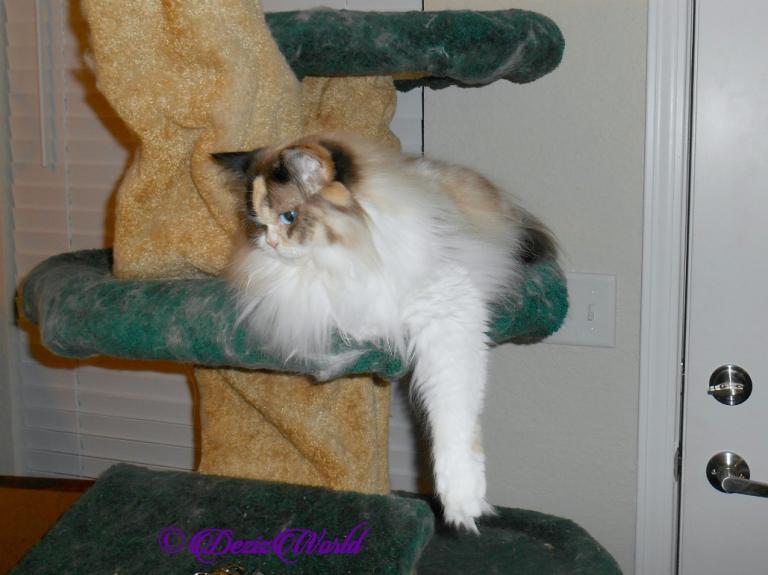 Raena lays on the cat tree