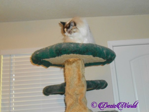 Raena bathes atop cat tree