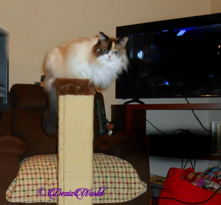 Raena lays on top of scratcher