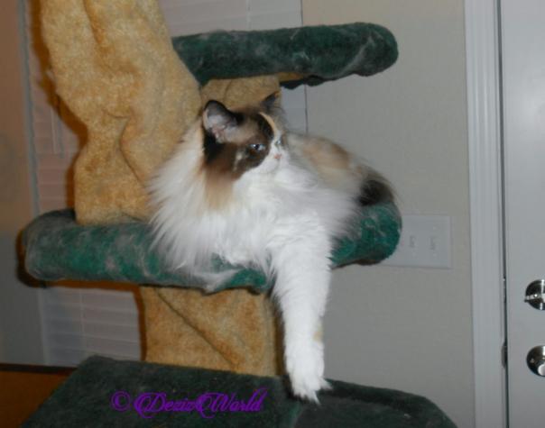 Raena lays on cat tree, profile, selfie