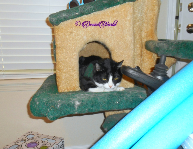 Gizmo lays in cat tree house