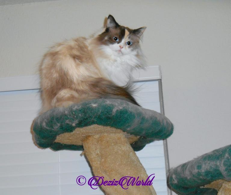 Raena sits pretty atop cat tree