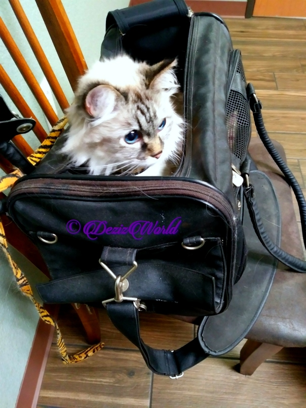 Dezi sits in carrier at vet