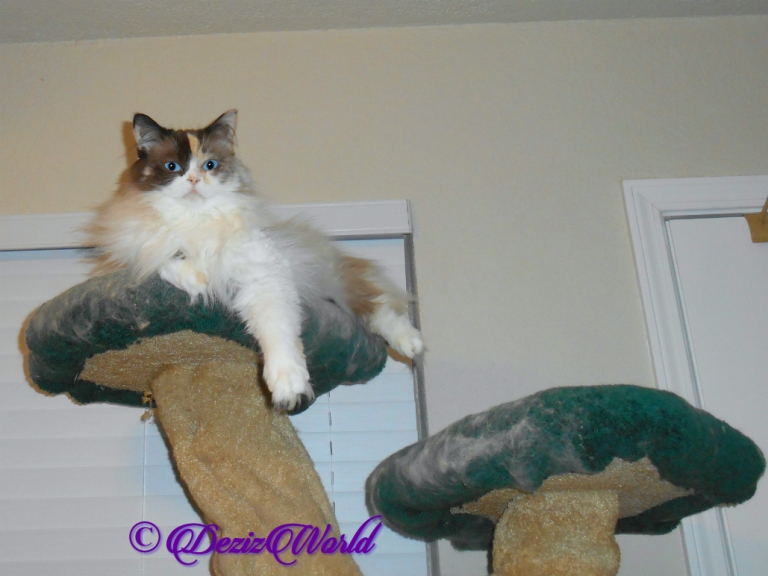 Raena lays atop the cat tree
