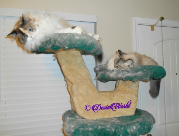 Raena and Dezi lay atop the liberty cat tree