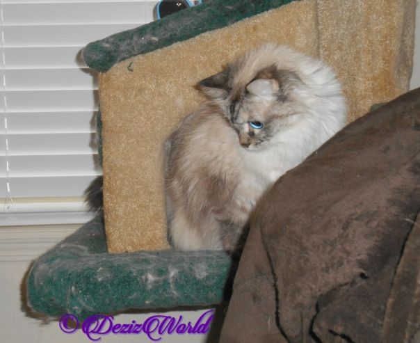 Dezi sits on cat tree looking down