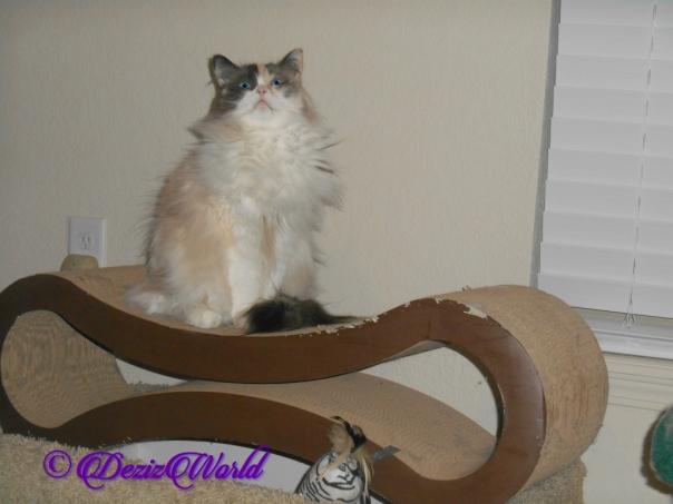 Raena sits on scratcher looking up