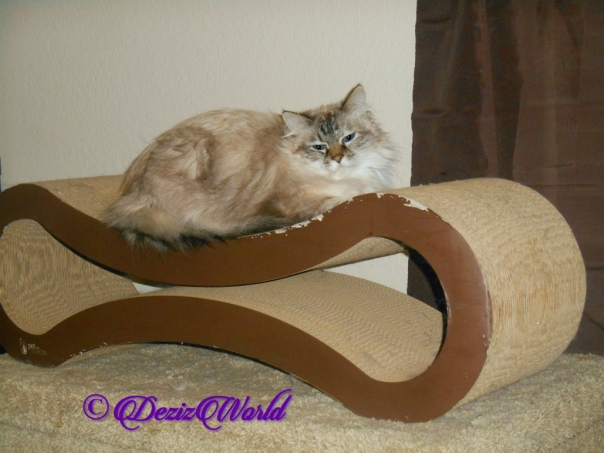 Dezi lays on scratcher , selfie