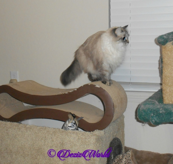 Dezi stands on scratcher preparing to jump