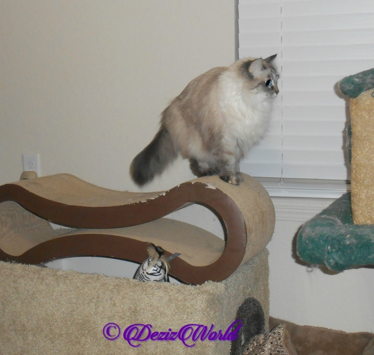 Dezi stands on scratcher preparing to jump