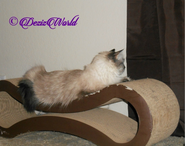 Dezi looks out window from scratcher
