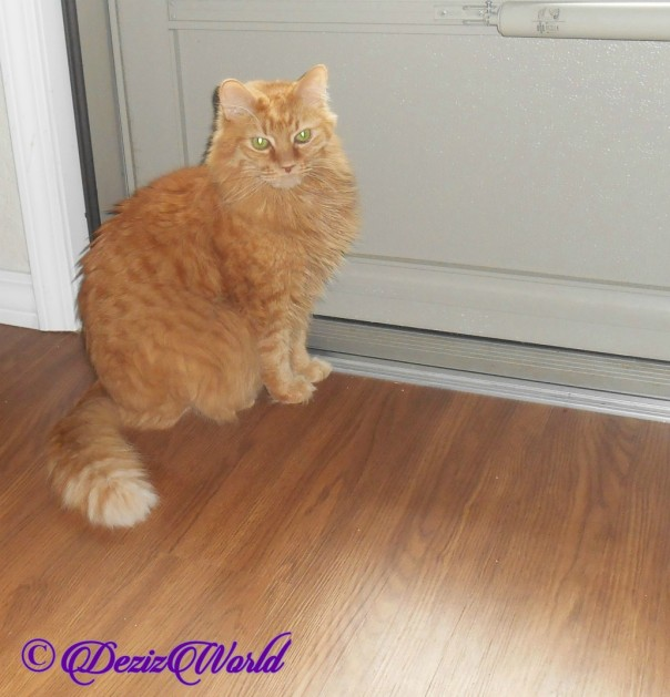 Jubal sits at front door, Ginger Cat,