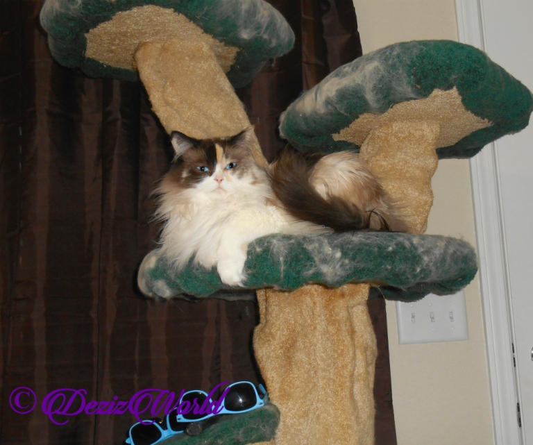 Raena lays pretty on cat tree, selfie