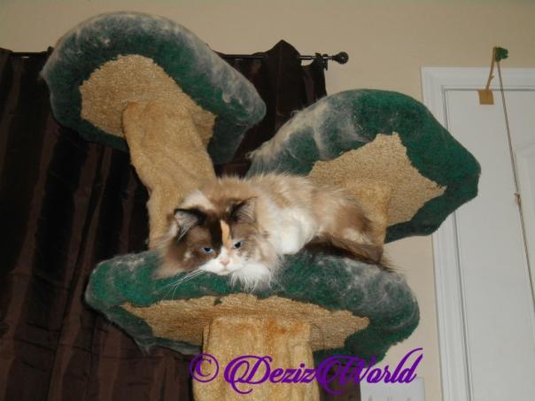 Raena lays on cat tree