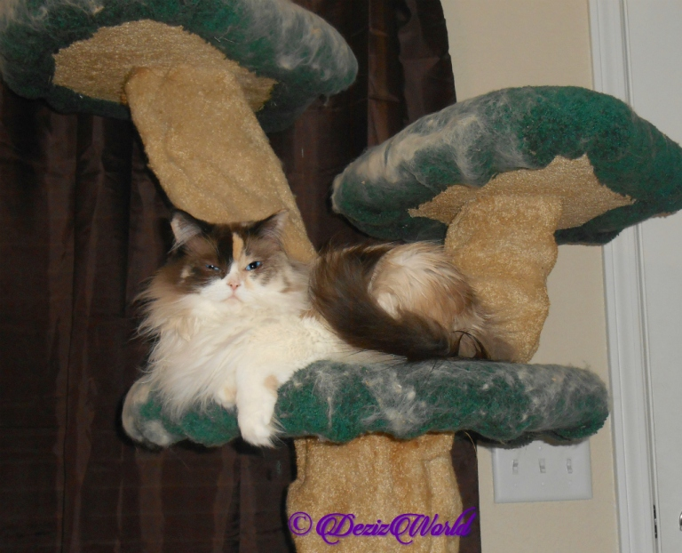 Raena lays on the liberty cat tree, selfie