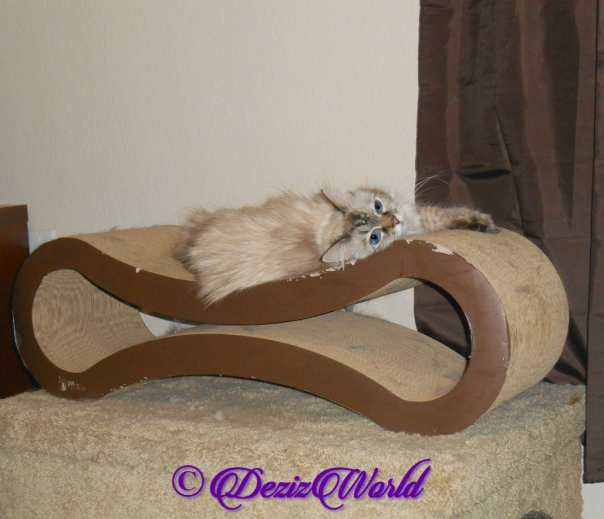 Dezi lays on scratcher