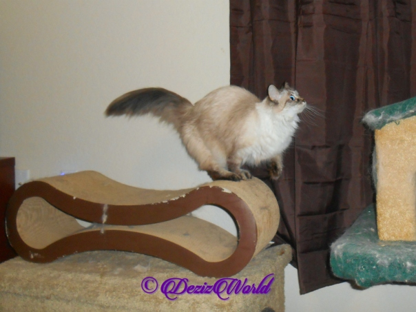 Dezi jumping from scratcher to cat tree
