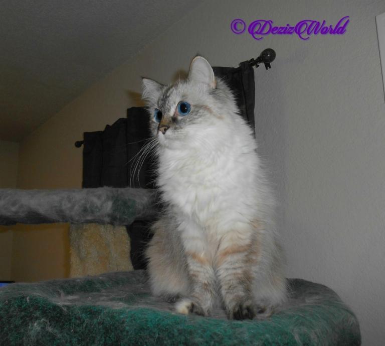 Dezi sits pretty atop cat tree