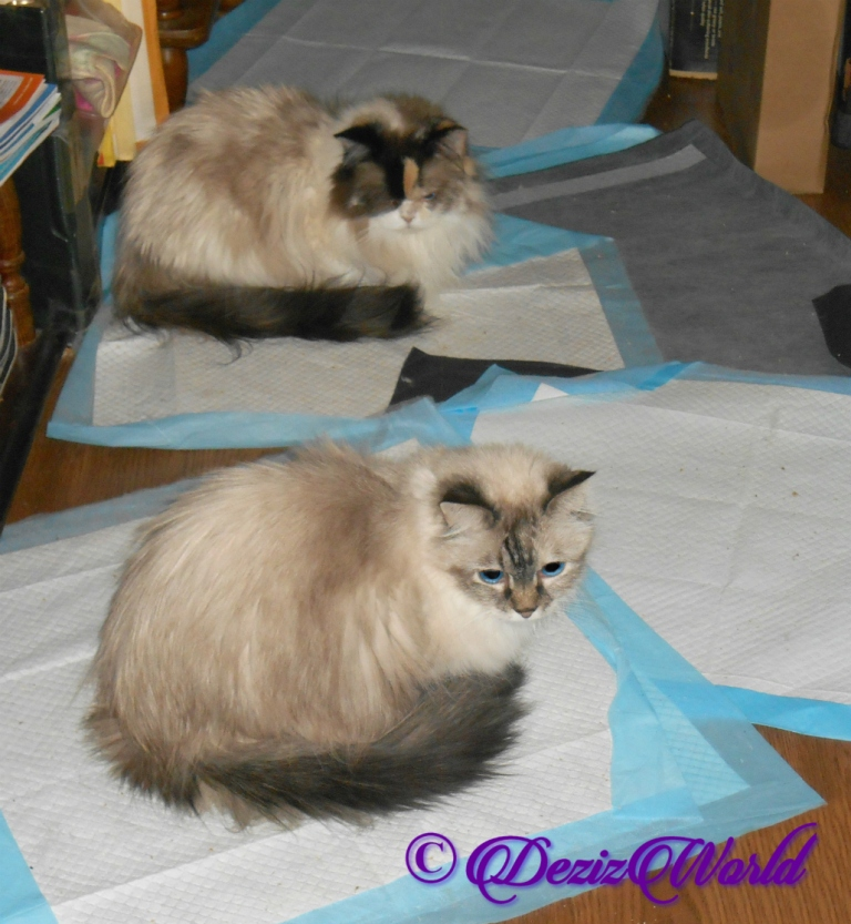 Dezi and Raena lay in hallway on piddle pads