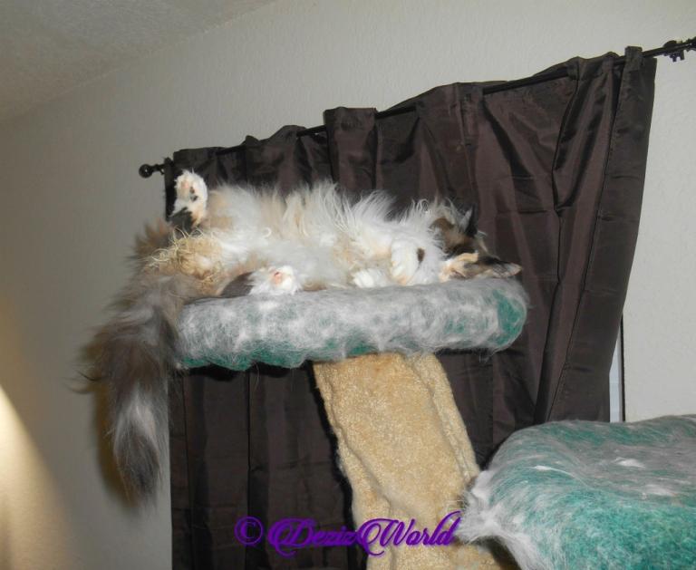 Raena lays atop cat tree