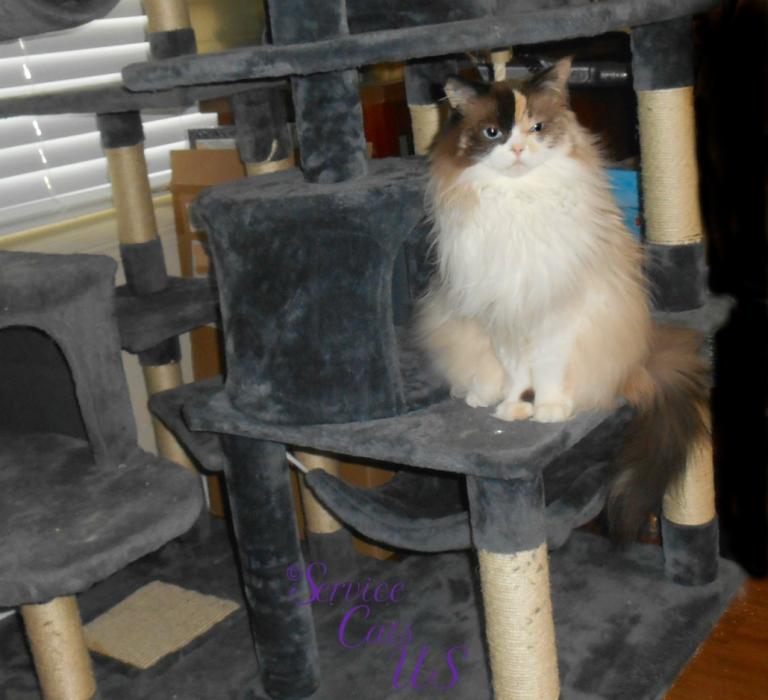 Raena sits pretty on cat tree