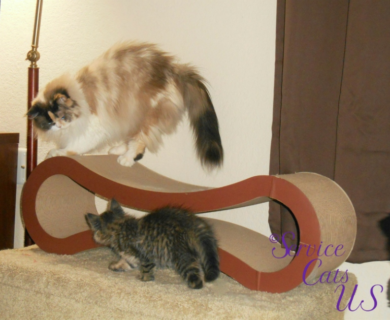 Raena and Zebby play on the cat scratcher