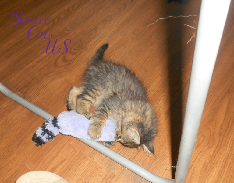Zebby plays with fuzzy toy