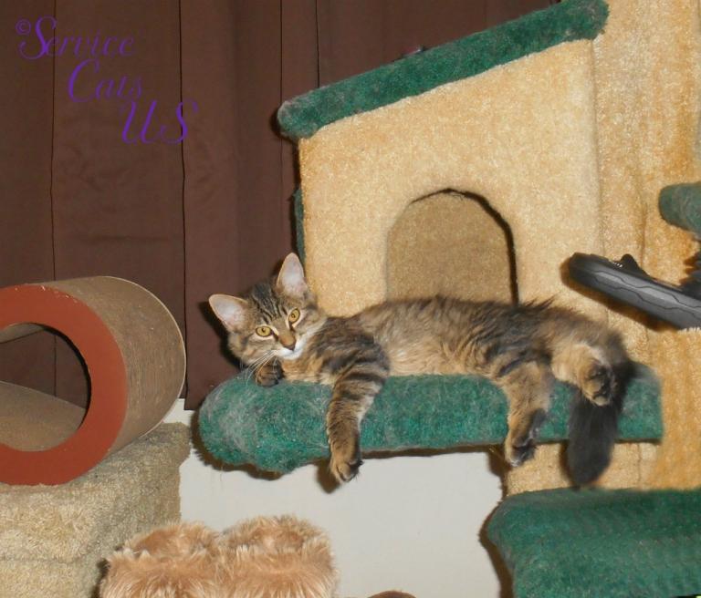 Zebby lays on the cat tree