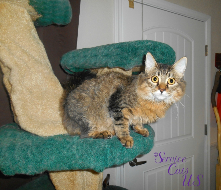 Zebby sits atop cat tree